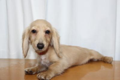 ミニチュアダックスイエロー(クリーム)の子犬メス、生後4ヵ月画像