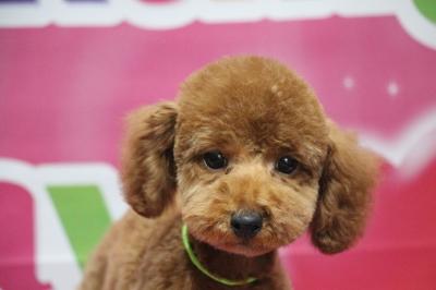 トイプードルレッドの子犬オス、生後3ヵ月画像