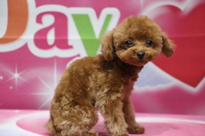 ティーカッププードルレッドの子犬メス、生後3ヵ月画像