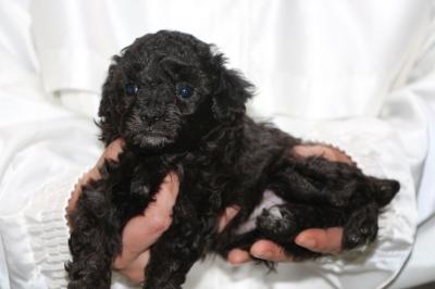 トイプードルシルバーの子犬メス、生後4週間画像