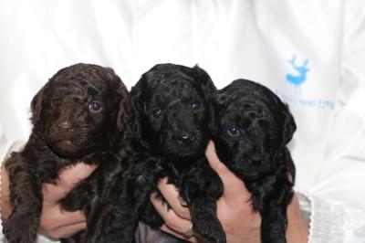 トイプードルの子犬、ブラウンオス1頭ブラック(黒色)メス2頭、生後3週間画像