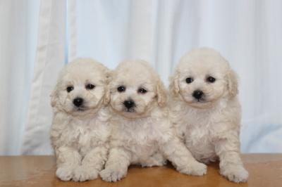 トイプードルホワイト(白色)の子犬オス1頭メス2頭、生後7週間画像
