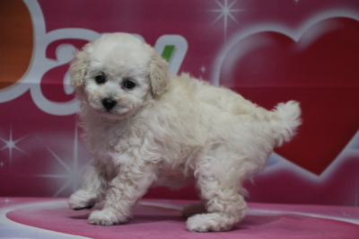 タイニープードルホワイト(白色)の子犬メス、生後7週間画像