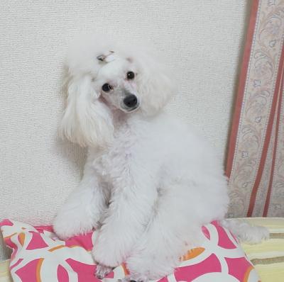 トイプードルホワイト(白)のメス、神奈川県川崎市レオナちゃん画像