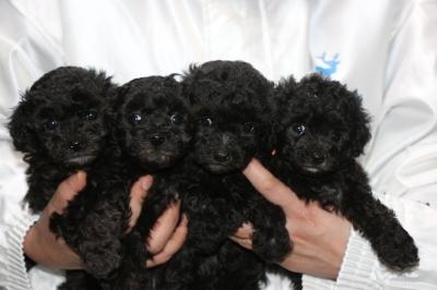 トイプードルシルバーの子犬メス4頭、生後5週間画像
