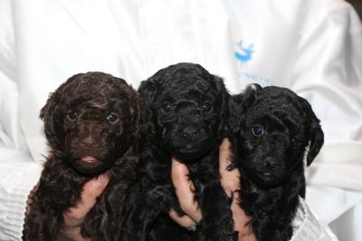 トイプードルの子犬、ブラウンオス1頭ブラック(黒色)メス2頭、生後4週間画像