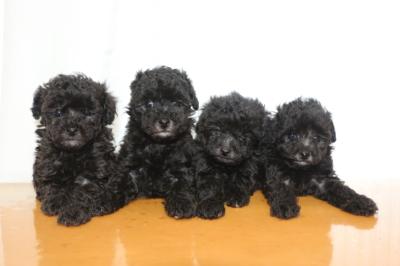 トイプードルシルバーの子犬メス4頭、生後6週間画像