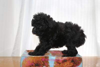 タイニープードルシルバーの子犬メス、生後6週間画像