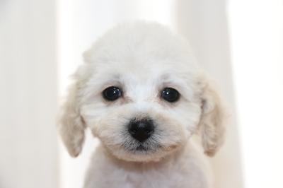 タイニープードルホワイト(白色)の子犬メス、生後2ヵ月画像