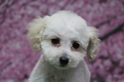 タイニープードルホワイト(白)の子犬メス、生後2ヵ月半画像