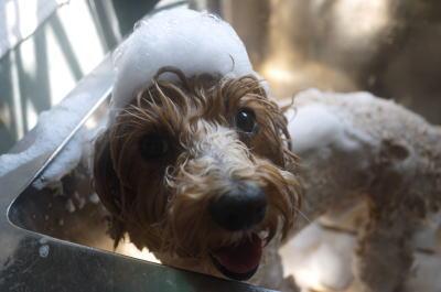 千葉県市川市のミックス犬シャンプー画像