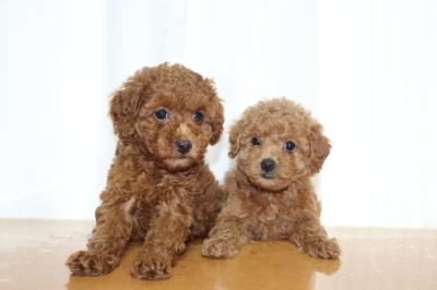 トイプードルレッドの子犬メス2頭、生後6週間画像