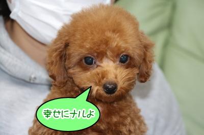 タイニープードルレッドの子犬オス、神奈川県川崎市ナル君画像