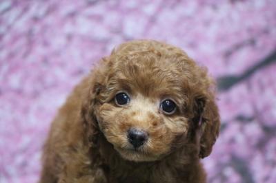 トイプードルレッドの子犬メス、1月11日生まれ画像