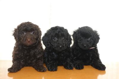トイプードルの子犬、ブラウンオス1頭ブラック(黒色)メス2頭、生後7週間画像