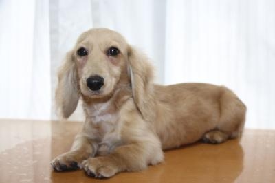 ミニチュアダックスのイエロー(クリーム)の子犬メス、生後5ヵ月画像