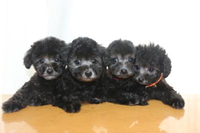 トイプードルシルバーの子犬メス4頭、生後2ヵ月画像