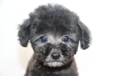 ティーカッププードルシルバーの子犬メス、生後2ヵ月画像