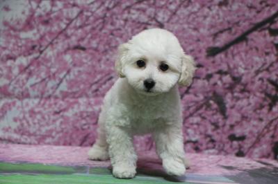 トイプードルホワイト(白色)の子犬オス、神奈川県横浜市イヴ君画像