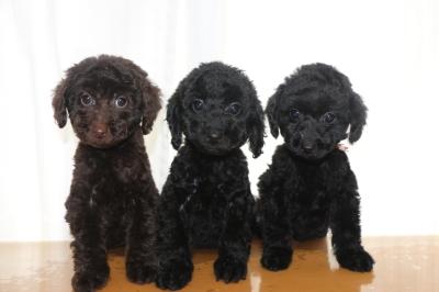 トイプードルの子犬、ブラウンオス1頭ブラック(黒色)メス2頭、生後2ヵ月画像