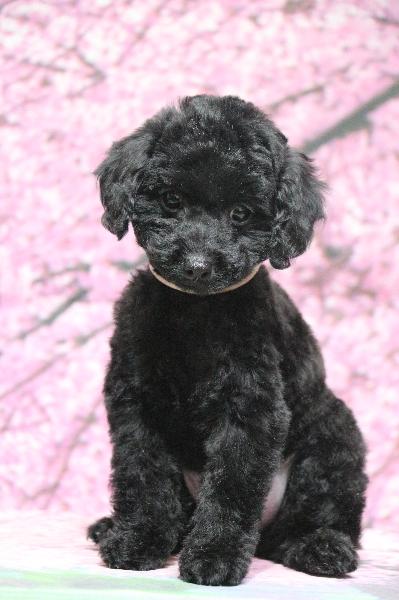 タイニープードルブラック(黒色)の子犬メス、生後2ヵ月画像