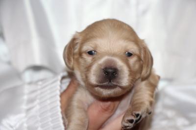 ミニチュアダックスイエロー(クリーム)の子犬オス、生後2週間画像