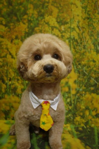 千葉県市川市のミックス犬トリミング前画像