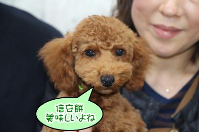トイプードルレッドの子犬オス、山梨県昭和町トム君画像