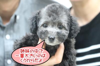 トイプードルシルバーの子犬メス、千葉県浦安市くうちゃん画像