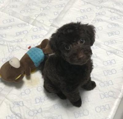 トイプードルブラウンの子犬オス、東京都世田谷区さんのすけ君画像