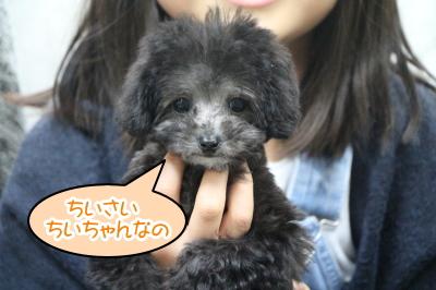 ティーカッププードルシルバーの子犬メス、東京都葛飾区ちいちゃん画像