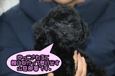 トイプードルブラック(黒色)の子犬メス、神奈川県横浜市アビーちゃん画像