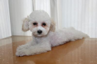 トイプードルホワイト(白色)の子犬メス、生後3ヵ月画像