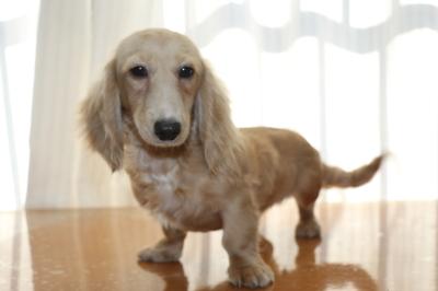 ミニチュアダックスのイエロー(クリーム)の子犬メス、生後半年画像