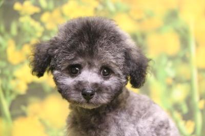 トイプードルシルバーの子犬オス、千葉県千葉市ルイ君画像
