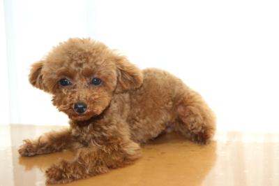 ティーカッププードルレッドの子犬メス、生後5ヵ月画像