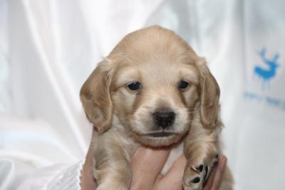 ミニチュアダックスイエロー(クリーム)の子犬オス、生後3週間画像