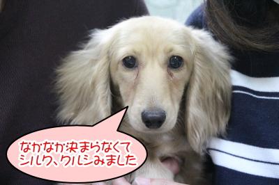 ミニチュアダックスのイエロー(クリーム)の子犬メス、神奈川県綾瀬市シルクちゃん画像
