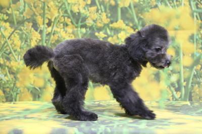 タイニープードルシルバーの子犬メス、東京都世田谷区マジュちゃん画像