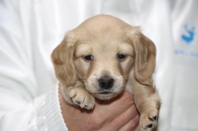 ミニチュアダックスイエロー(クリーム)の子犬オス、生後4週間画像