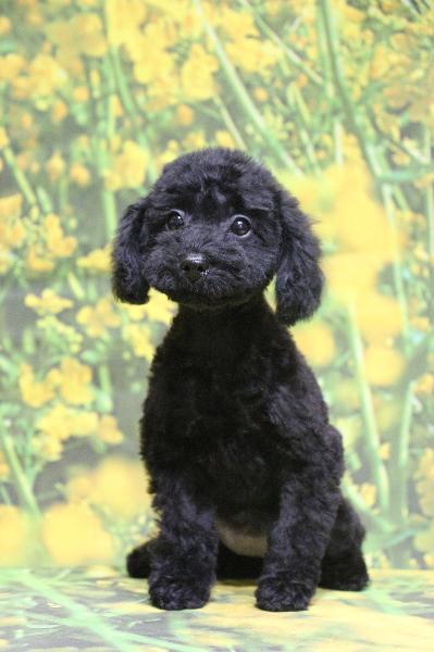 トイプードルブラック(黒色)の子犬メス、神奈川県川崎市さくらちゃん画像