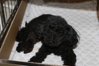 トイプードルブラウンの子犬メス、産まれたばかり画像