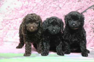 トイプードルブラウンブラック(黒色)の子犬オスメス、生後2ヵ月画像