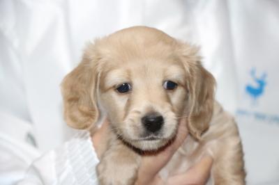 ミニチュアダックスイエロー(クリーム)の子犬オス、生後5週間画像