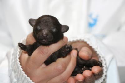 ティーカッププードルブラウンの子犬メス、生後1週間画像