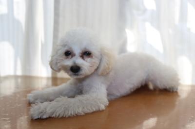 トイプードルホワイト(白色)の子犬メス、生後4ヵ月画像