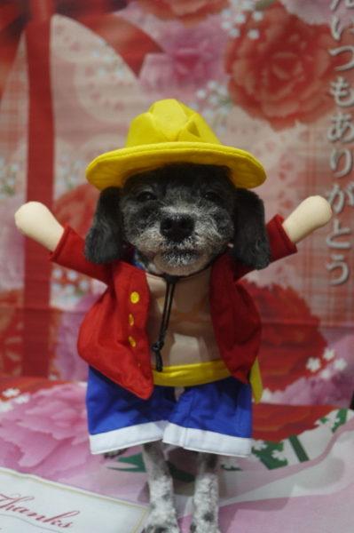 千葉県鎌ヶ谷市のトイプードルのトリミング画像