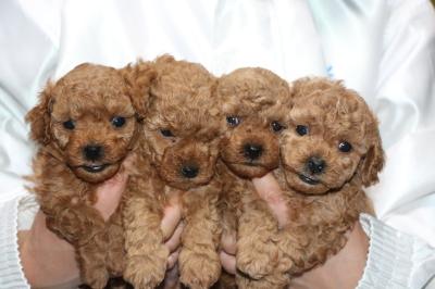 トイプードルレッドの子犬オス2頭メス2頭、生後5週間画像