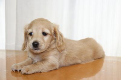 ミニチュアダックスイエロー(クリーム)の子犬オス、生後6週間画像