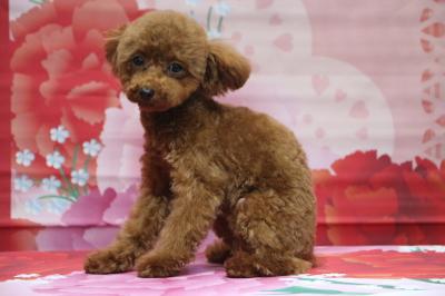 ティーカッププードルレッドの子犬メス、千葉県印西市ノエミちゃん画像